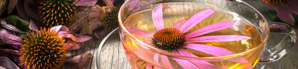 Echinacea Uses for Colds and Flu