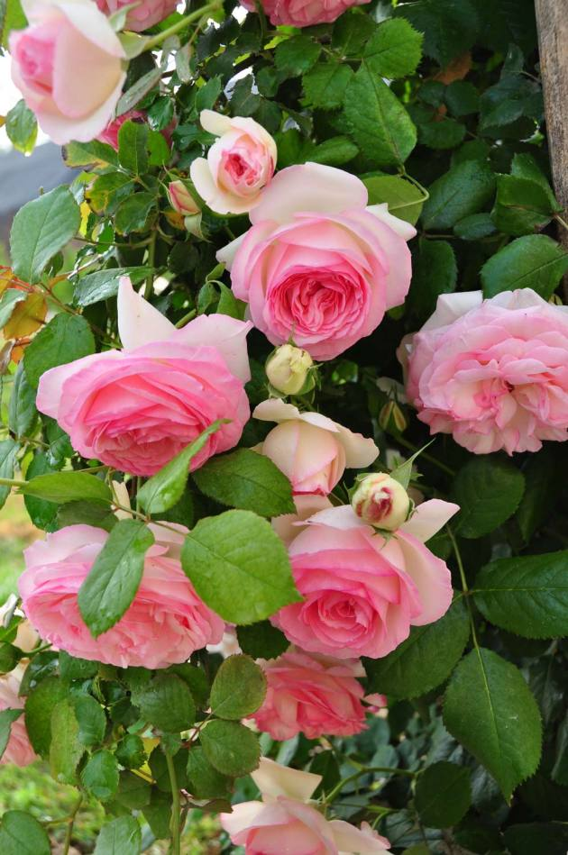 שתילי ורדים לגינון