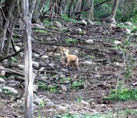 Red Fox in Cow Pasture- Home in the Finger Lakes