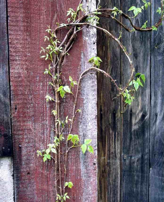 Poison Ivy climbing up barn