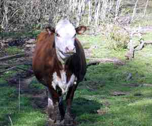 Hereford Cow Big Red