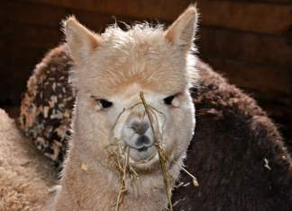 Young Alpaca eating hay - Home in the Finger Lakes