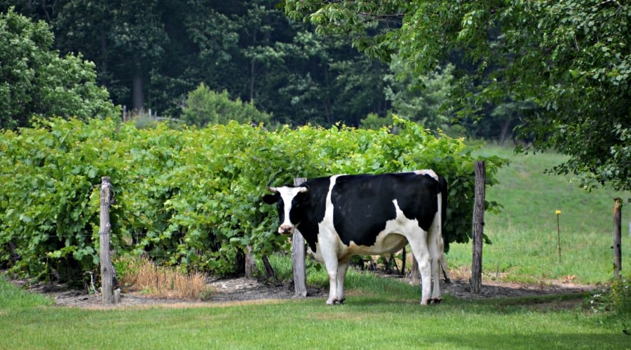 Cow in the  vineyard near Keuka Lake, Pulteney NY