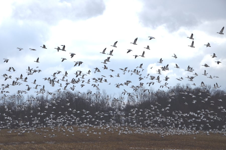 snowgeese4