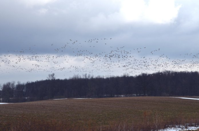 snowgeese6