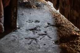 Chicken and cat footprints in the concrete floor.