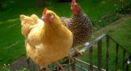 Chickens Winter-23 - Copy