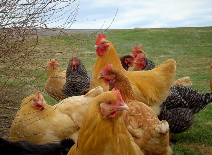 Secrets to Surviving the Winter With Chickens From The Chicken Coop