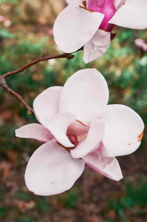 Close up view into a pink magnolia flower in Palmyra New York.
