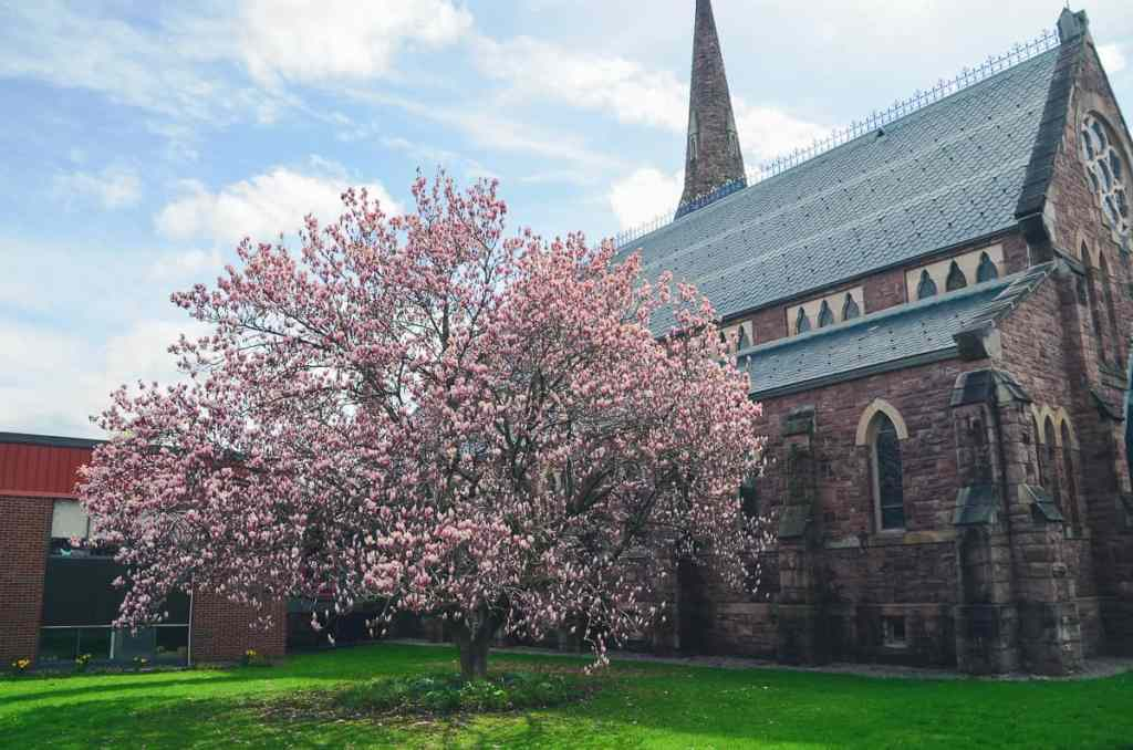 Pink Magnolia Tree in full bloom in front of Zion Episcopal Church in Palmyra .