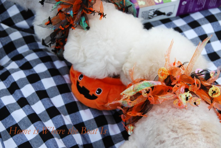 Chloe and Gracie Halloween | ©homeiswheretheboatis.net #dogs #halloween #bichonfrise