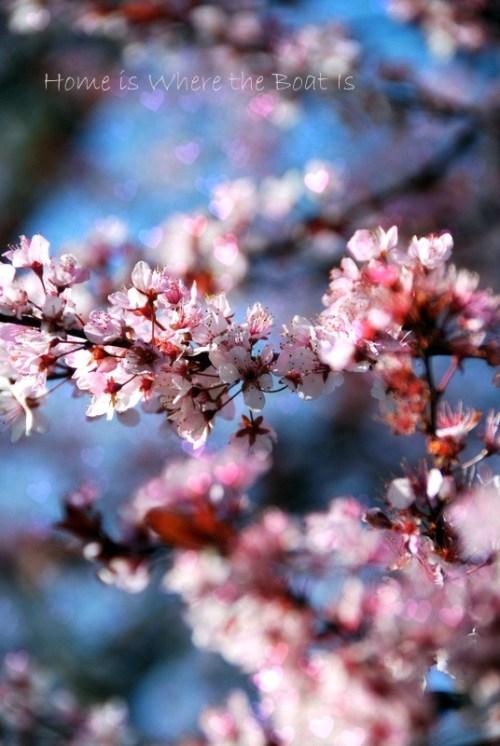 Purple Leaf Plum Blooms1