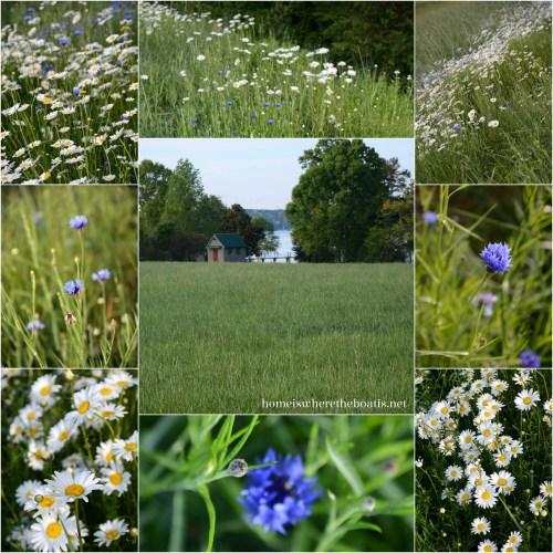 Bluebottle Flowers & Daisies Field