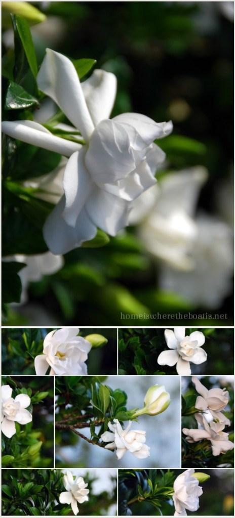 Gardenias in the Garden