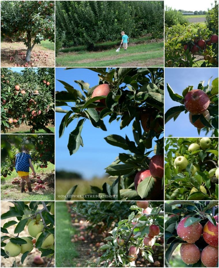 Carrigan Farms Apple Picking