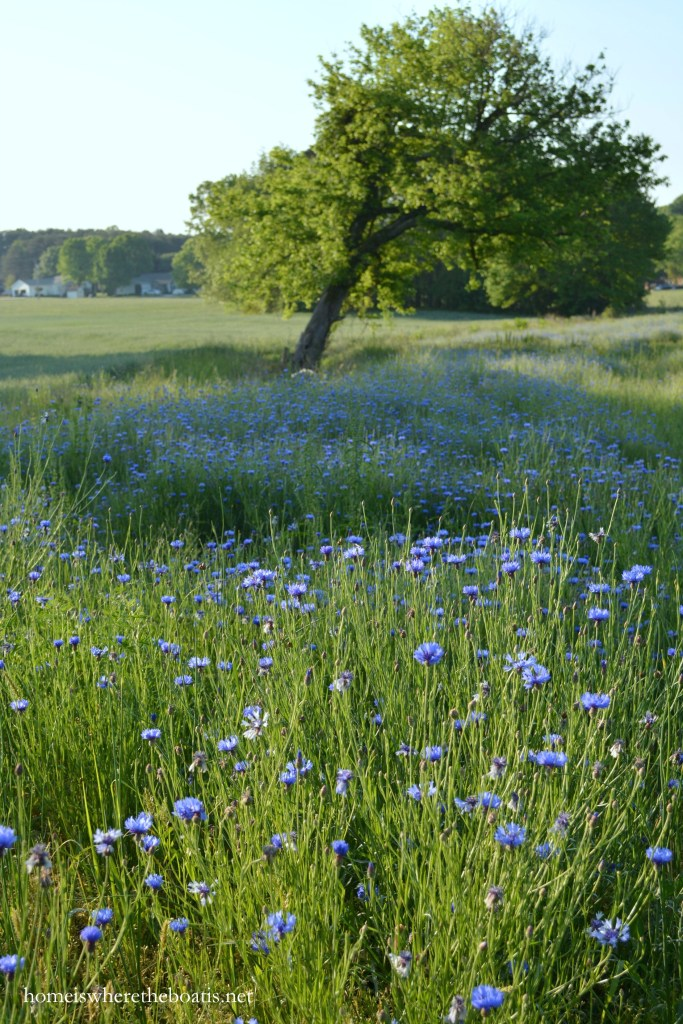 Singing the Wildflower Blues: Bachelor Buttons | ©homeiswheretheboatis.net