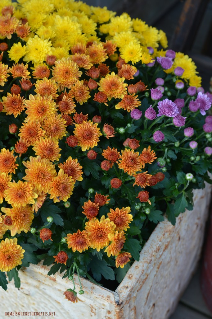 Tricolor mums for fall planter box Potting Shed | ©homeiswheretheboatis.net #fall #shed #mums