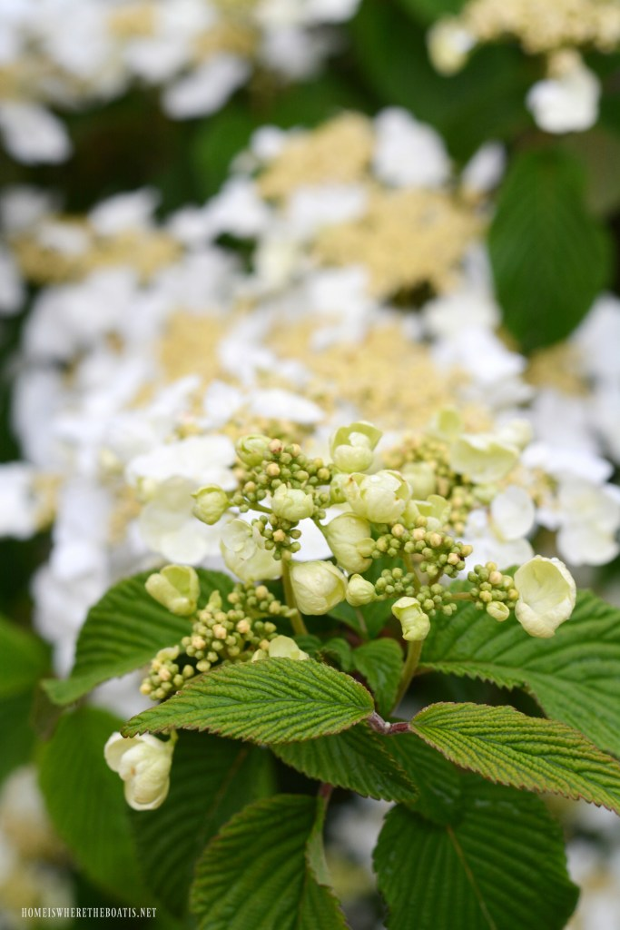 Viburnum | ©homeiswheretheboatis.net #flowers #spring #garden