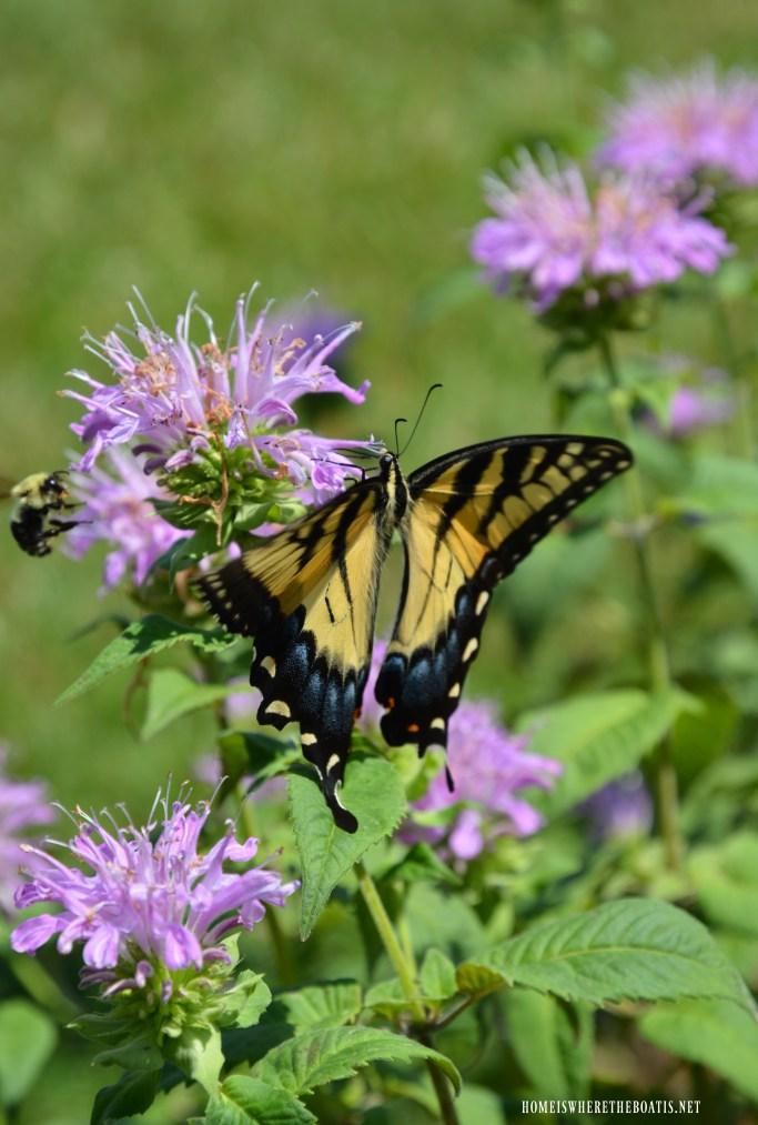 Easter Tiger Stripe Swallowtail butterfly and bumblebee on Bee Balm | ©homeiswheretheboatis.net #flowers #DIY #garden #nationalpollinatorweek