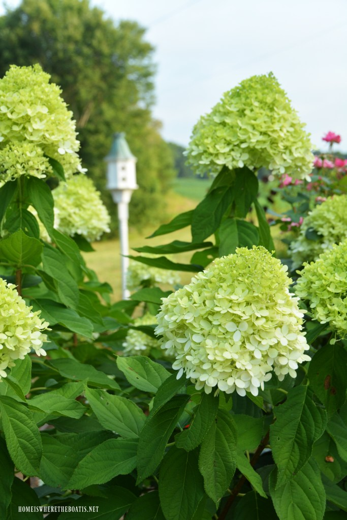 Plant this easy to grow, low maintenance shrub in your garden that will provide you with both beautiful cut and dried flowers | ©homeiswheretheboatis.net #garden #flowers #hydrangeas