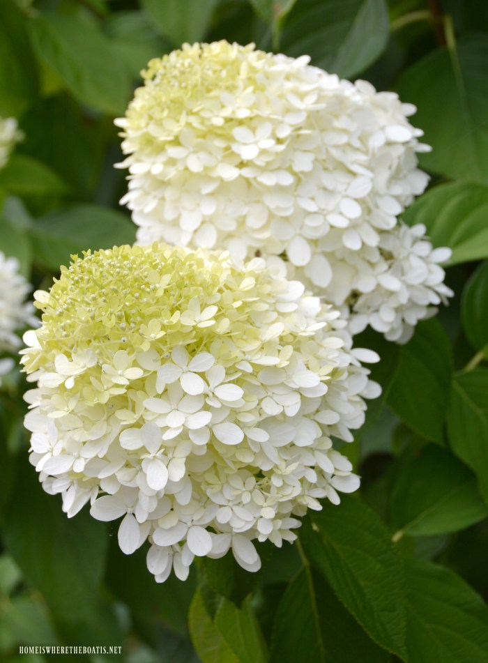Plant this easy to grow, low maintenance shrub in your garden and enjoy beautiful cut and dried flowers too! | ©homeiswheretheboatis.net #summer #garden #hydrangea #pottingshed