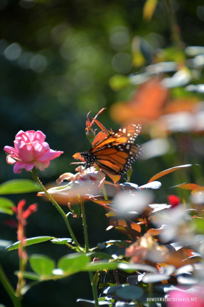 Monarch Butterfly | ©homeiswheretheboatis.net