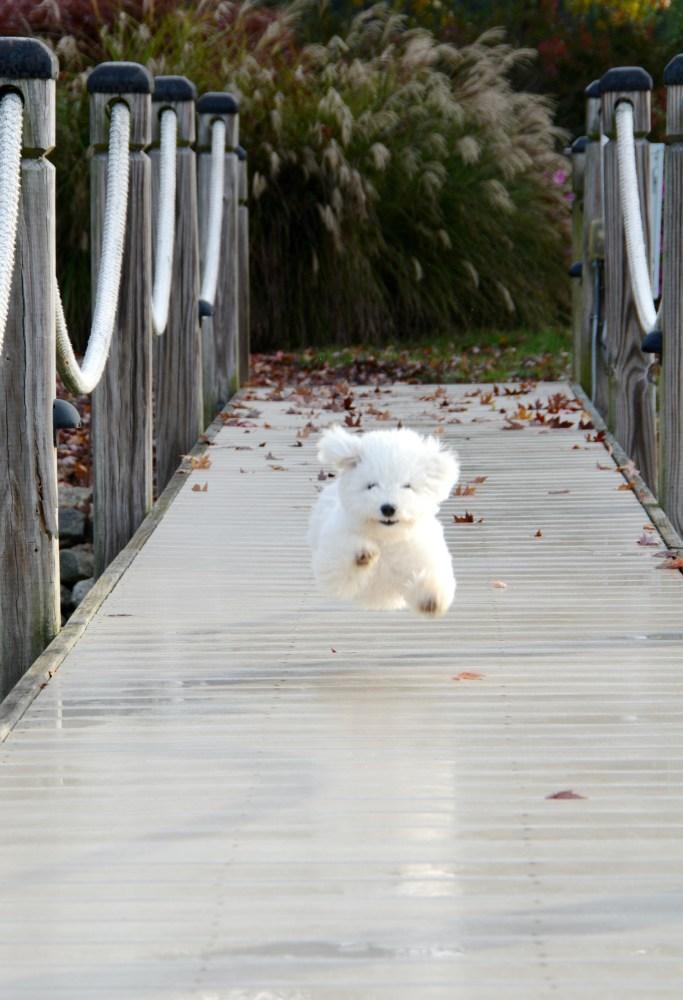 Lola running down dock | ©homeiswheretheboatis.net #dog #bichonfrise #nationaldogday