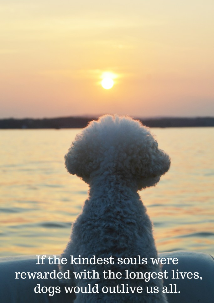 If the kindest souls were rewarded with the longest lives, dogs would outlive us all | ©homeiswheretheboatis.net #nationaldogday #bichonfrise
