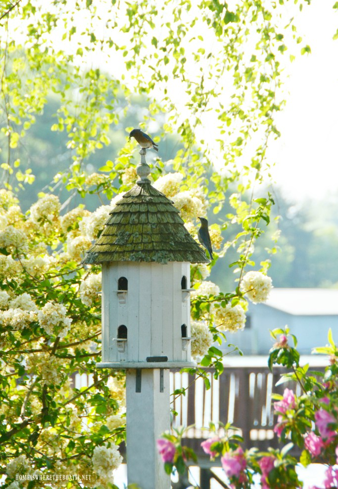 Eastern Bluebirds nesting in birdhouse | ©homeiswheretheboatis.net #bird #nests #birdhouses