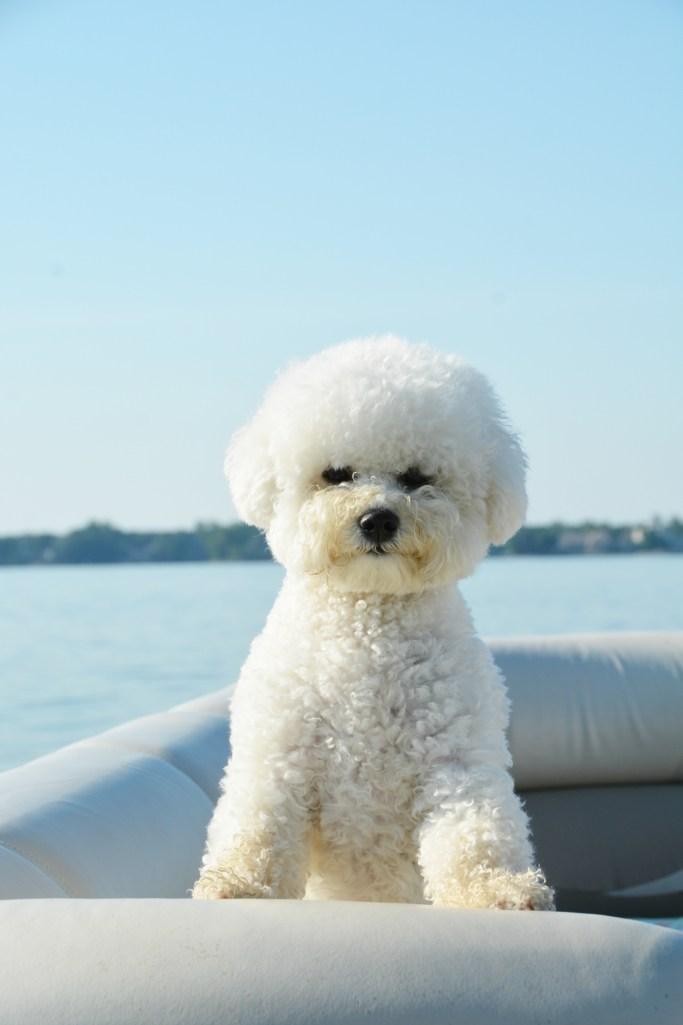 Lola on pontoon | ©homeiswheretheboatis.net #boatingwithdogs #bichonfrise #nationaldogday