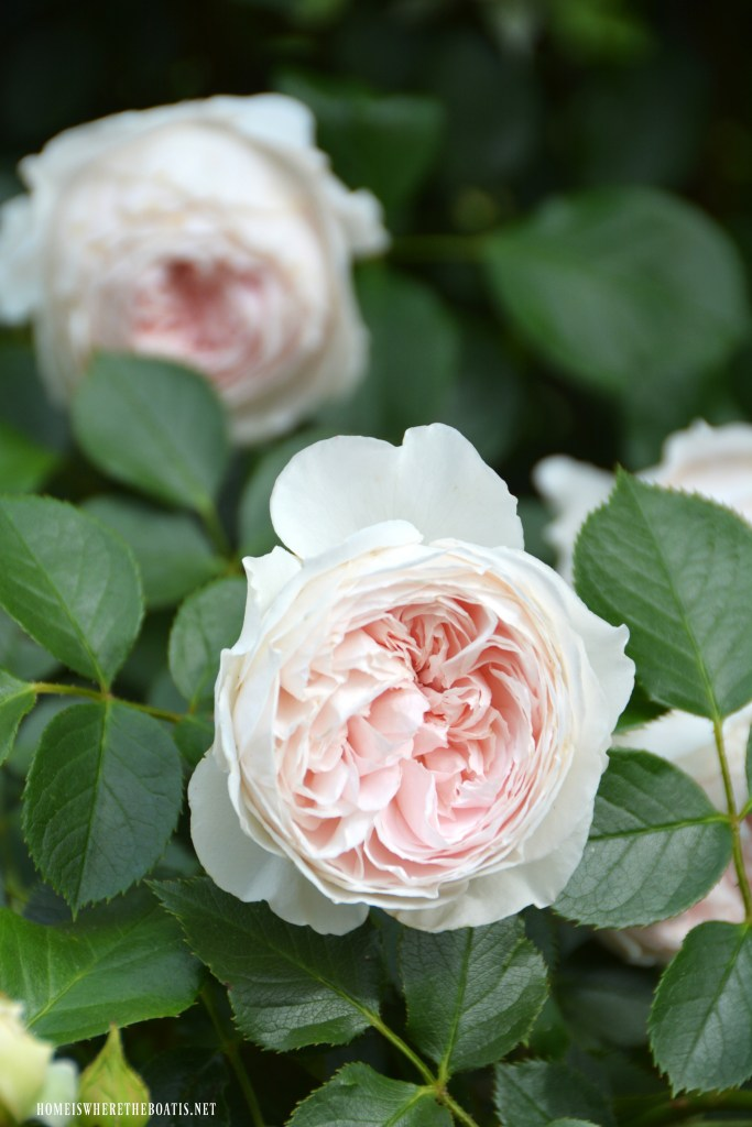 Earth Angel Rose | ©homeiswheretheboatis.net #garden #flowers #spring