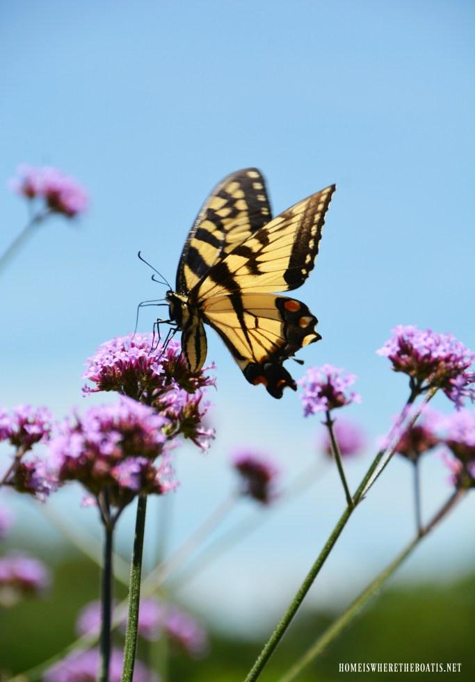Verbena Lollipop = Butterfly Magnet! | ©homeiswheretheboatis.net #flowers #garden #flowers