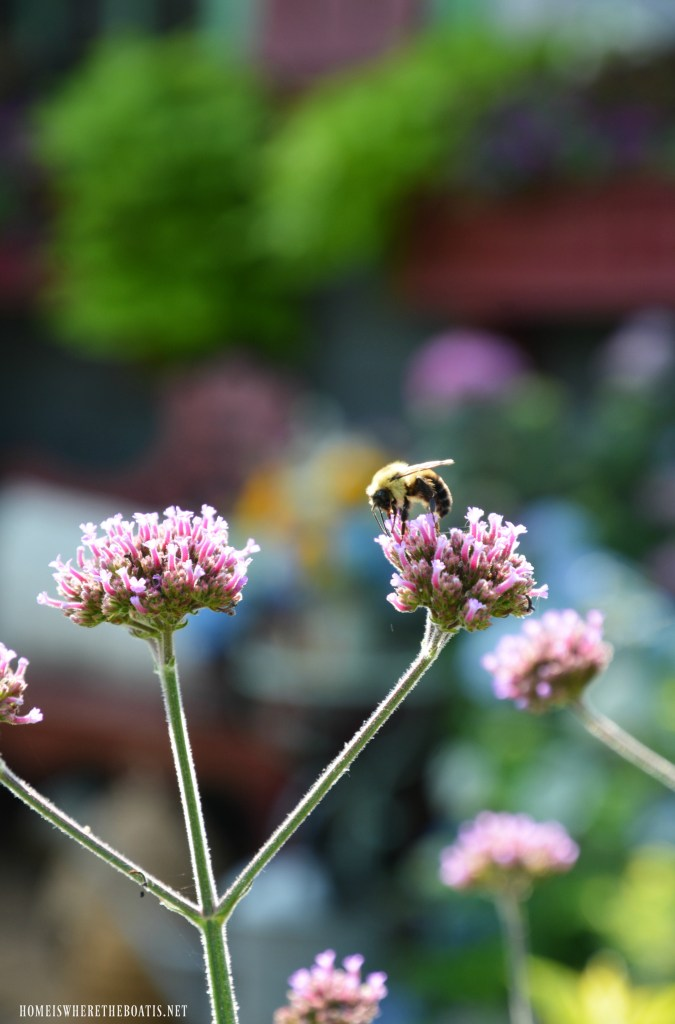 Bee on Verbena Lollipop | ©homeiswheretheboatis.net #garden #flowers #spring