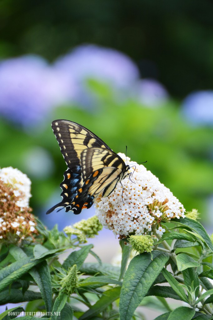 Eastern Tiger Swallowtail on butterfly bush | ©homeiswheretheboatis.net #flowers #garden #butterfly