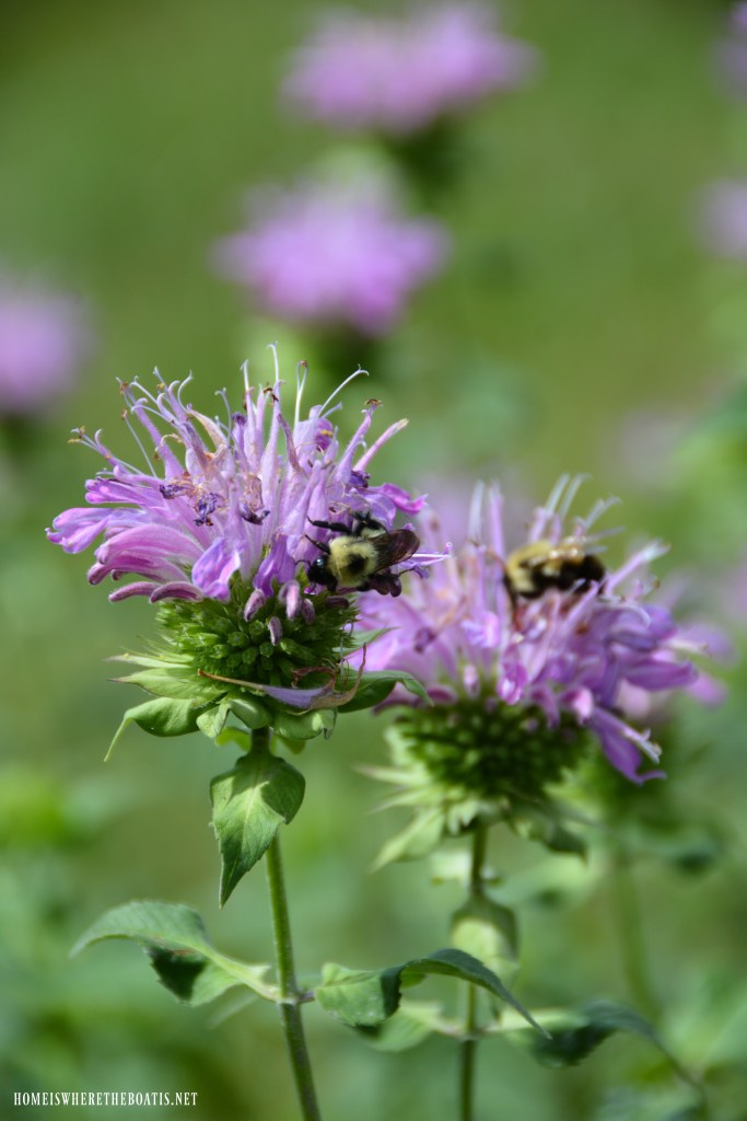 Bumblebees on bee balm | ©homeiswheretheboatis.net #summer #garden #flowers #bees