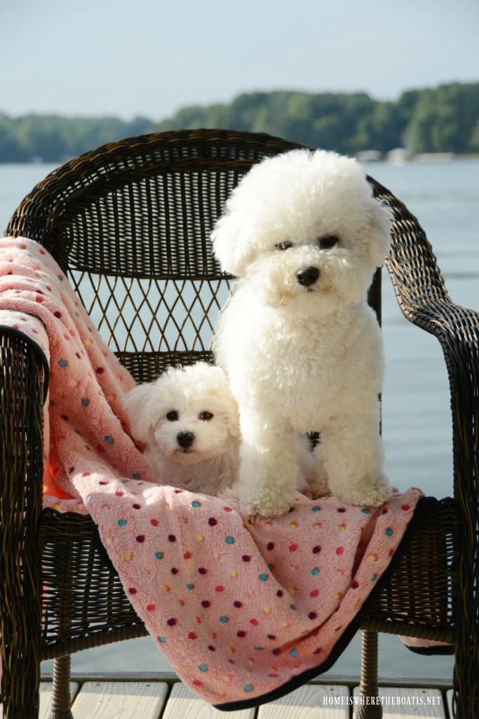 Lola and Sophie | ©homeiswheretheboatis.net #dogs #bichonfrise #nationaldogday