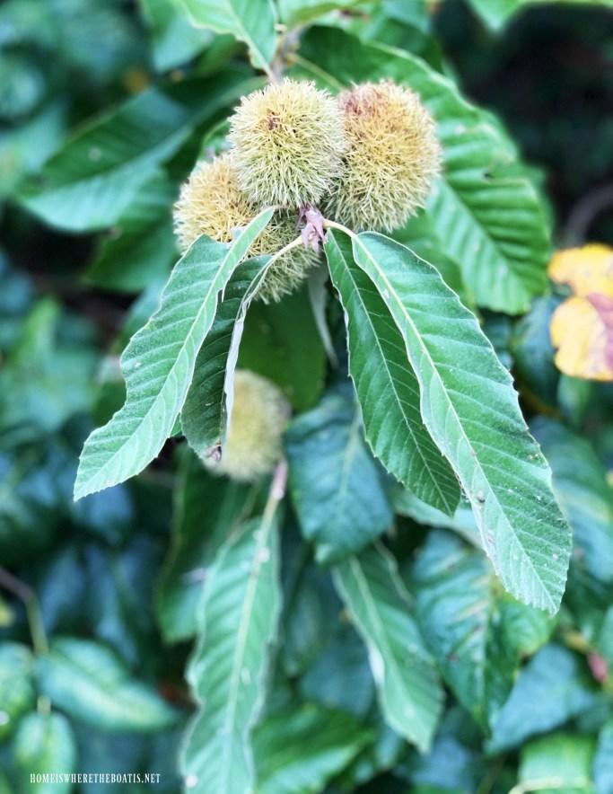 Chinese Chestnut Tree | ©homeiswheretheboatis.net #fall #arrangement