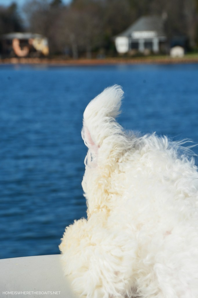 Weekend Waterview Sophie's ears flying on pontoon | ©homeiswheretheboatis.net #dogs #LKN #boat #bichonfrise