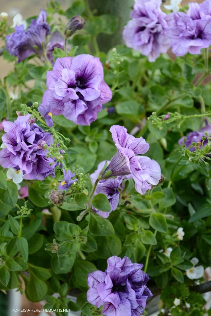 Petunias | ©homeiswheretheboatis.net #flowers #garden