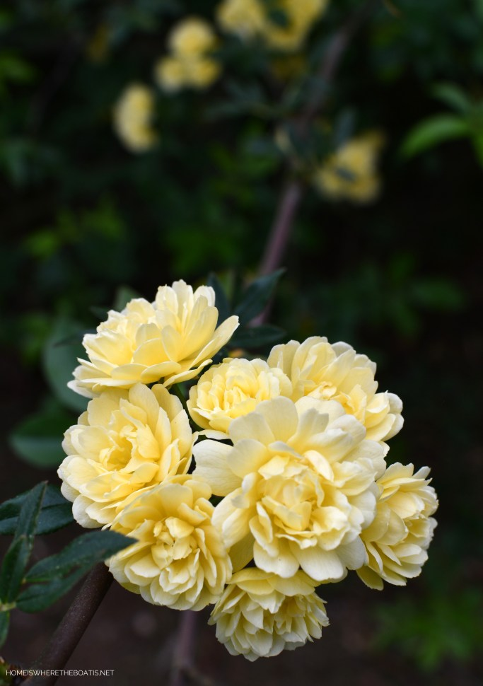 Lady Banks Rose | ©homeiswheretheboatis.net #flowers #spring #garden