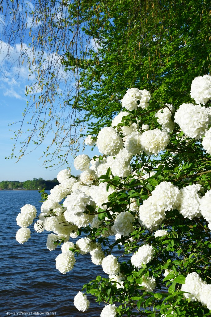 Weekend Waterview Snowball Viburnum | ©homeiswheretheboatis.net #garden #flowers #lake
