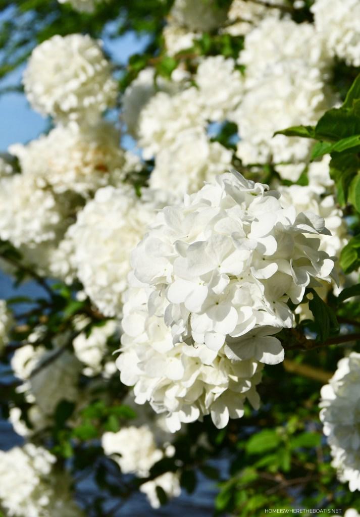 Snowball Viburnum| ©homeiswheretheboatis.net #garden #flowers