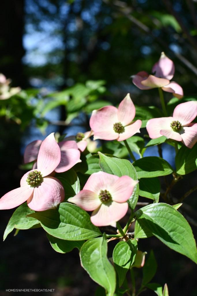 Pink dogwood blooms | ©homeiswheretheboatis.net