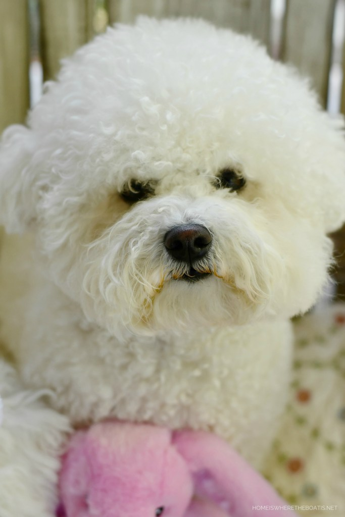 Happy Easter from Lola | ©homeiswheretheboatis.net #dogs #bichonfrise #easter