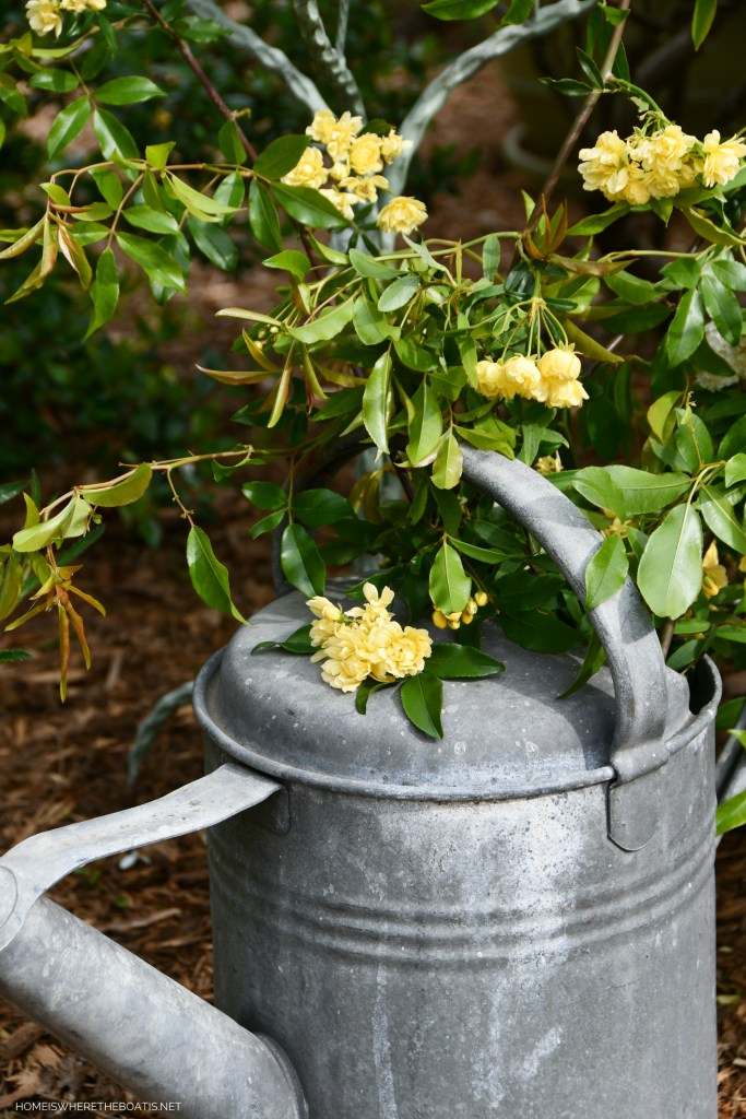 Lady Banks Rose in watering can | ©homeiswheretheboatis.net
