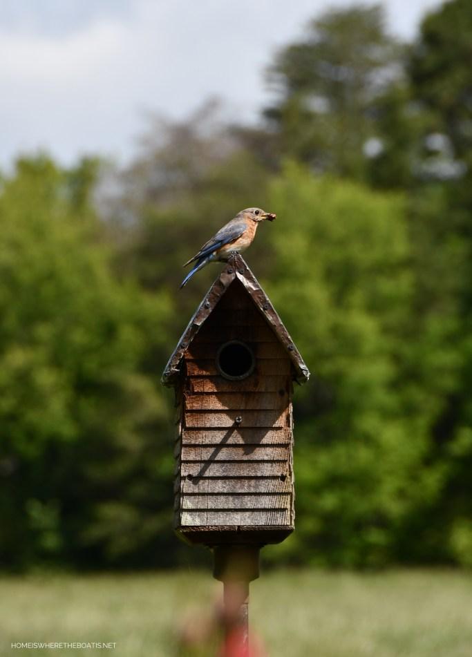 Eastern Bluebird nesting | ©homeiswhetheboatis.net