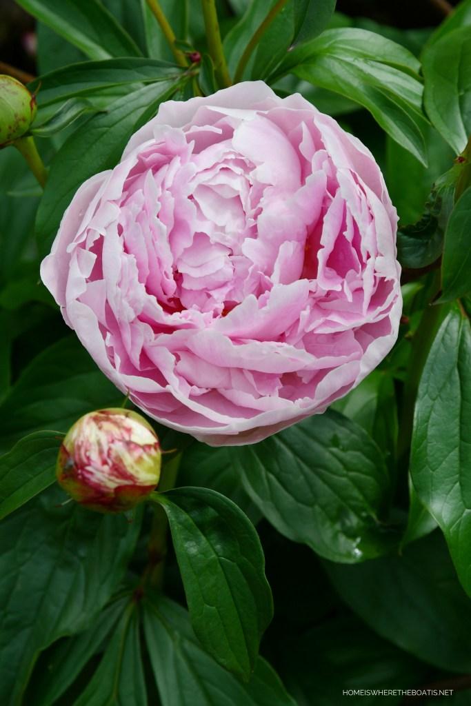 'Sarah Bernhardt' Peony | ©homeiswheretheboatis.net #garden #flowers
