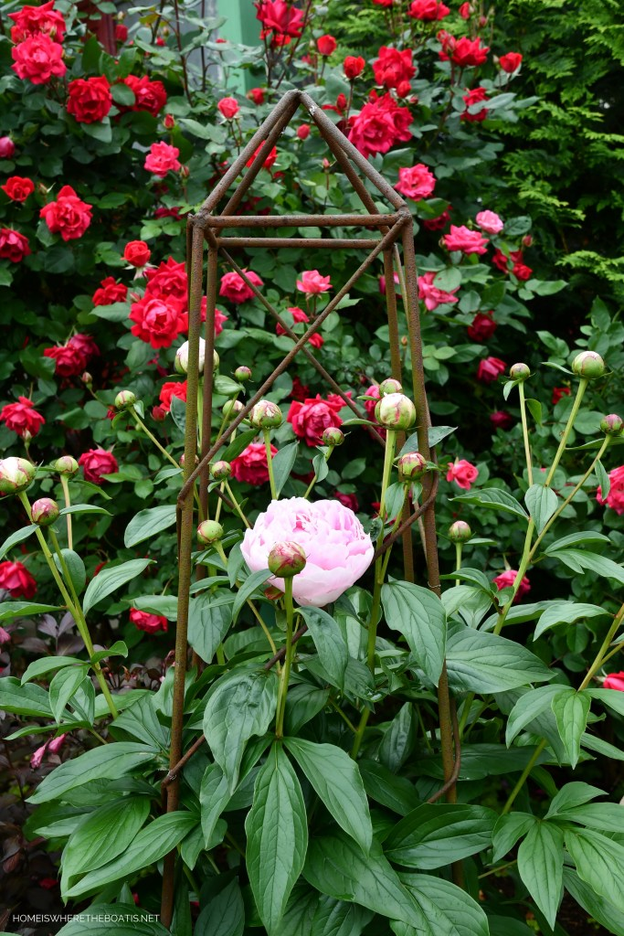 Peonies in obelisk and Knock Out Roses | ©homeiswheretheboatis.net #garden #flowers
