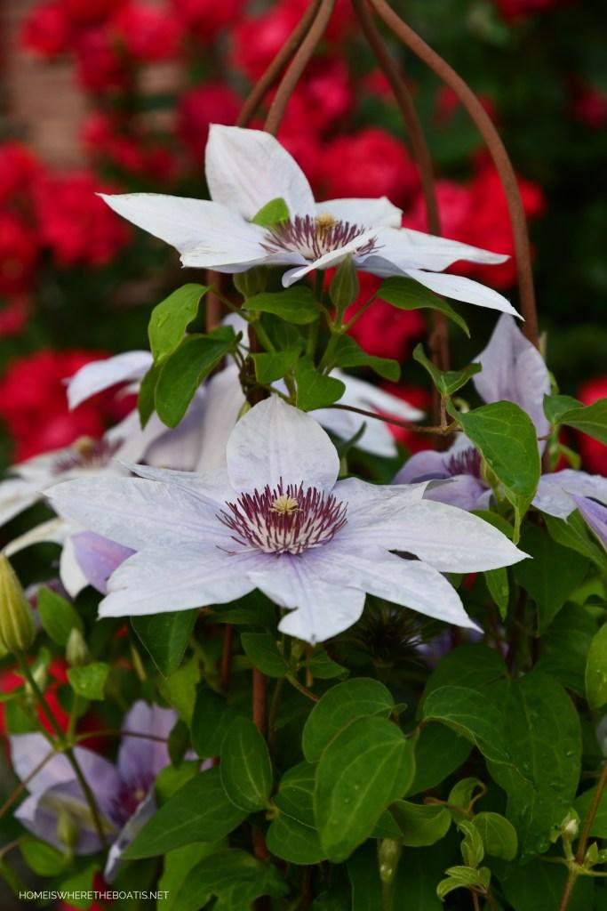 Clematis 'Bernadine' | ©homeiswheretheboatis.net #garden #flowers