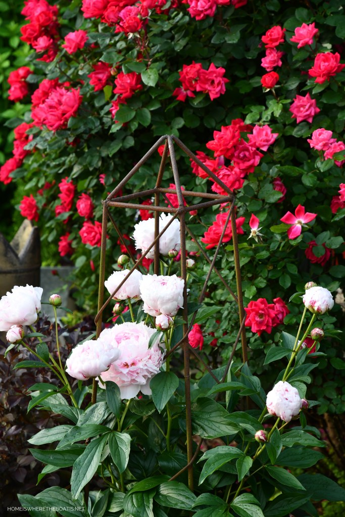 Peonies in obelisk and Knock Out roses | ©homeiswheretheboatis.net #flowers #garden